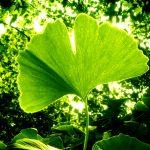 Les vrais bienfaits du ginkgo biloba: mémoire, circulation, libido