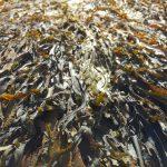 le kelp pour maigrir plus rapidement