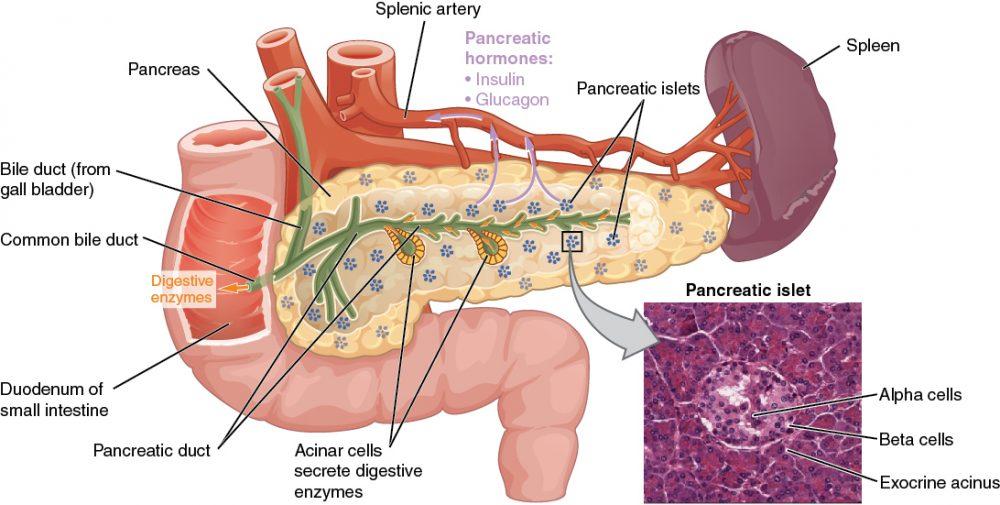 Le rôle du pancréas dans la digestion